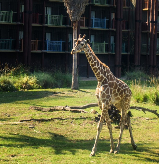 Giraffe strolling at the Animal Kingdom Lodge Savannah