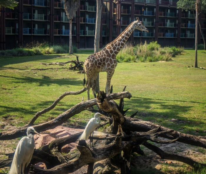 Savannah at the Animal Kingdom Lodge