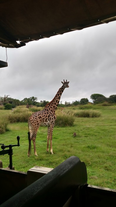 A giraffe watching us closely